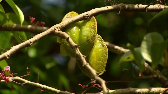 Mosca da carambola ataca mais de 20 espécies da fruta em pomares do AP