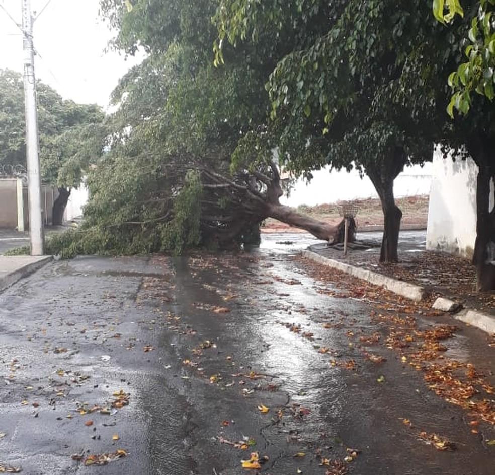 Algumas árvores caíram na cidade com a força do temporal — Foto: Maria Elza Nobre/Arquivo pessoal