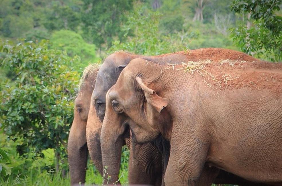 Maia, Guida e Rana vivem no Santuário de Elefantes Brasil  — Foto: Patrícia Santos