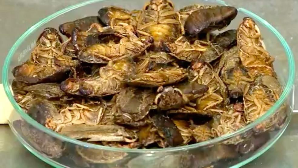 Com 70% de proteína, as baratas cinéreas são uma importante fonte proteica — Foto: Divulgação/BBC