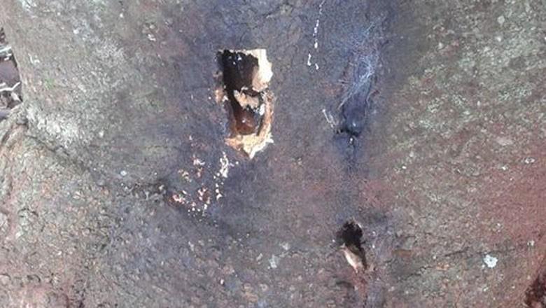 coleobrocas-abacateiro-arvore-tronco-praga (Foto: Fabiana Custódio/Acervo pessoal)
