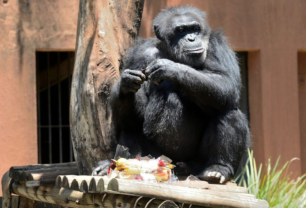 Chimpanzé Black vivia no zoológico de Sorocaba e foi transferido para um santuário — Foto: Arquivo pessoal
