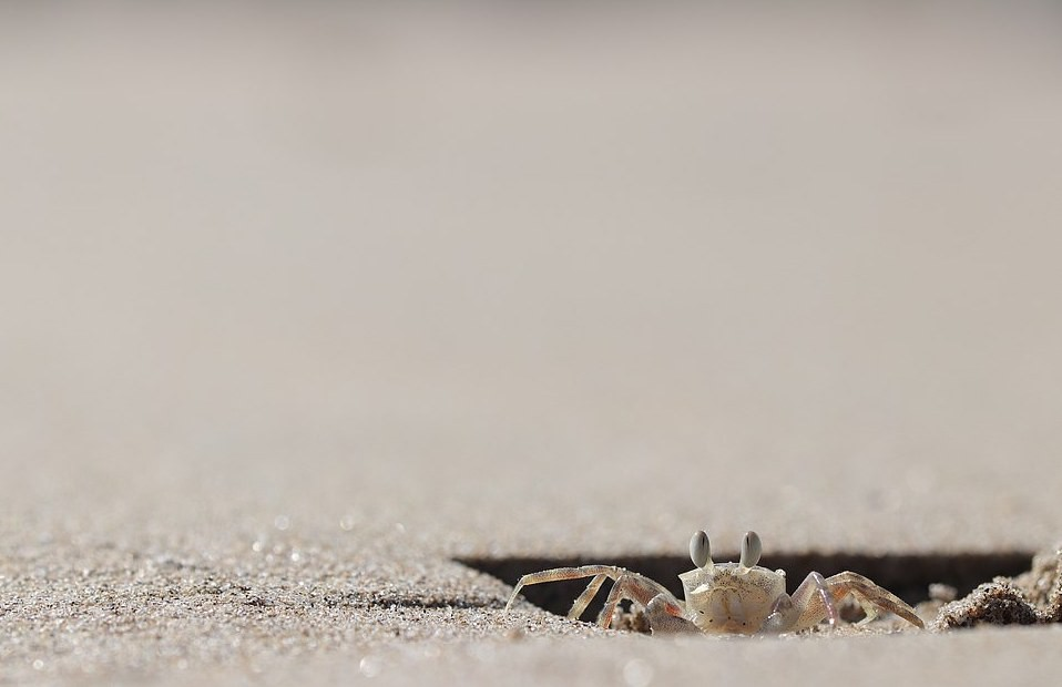 A fotografia mostra um caranguejo-fantasma, espécie que habita praias arenosas e tem hábitos noturnos (Foto: BMC Ecology/HaoYun Zhuang)