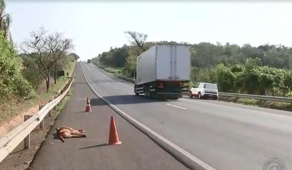 Onça foi atropelada na rodovia que liga Bauru e Arealva  — Foto: TV TEM / Reprodução