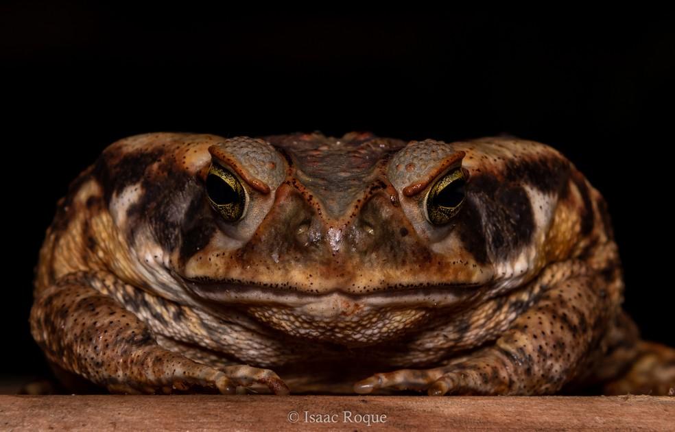 Detalhes do sapo cururu (Rhinella diptycha) — Foto: Isaac Roque/Arquivo Pessoal