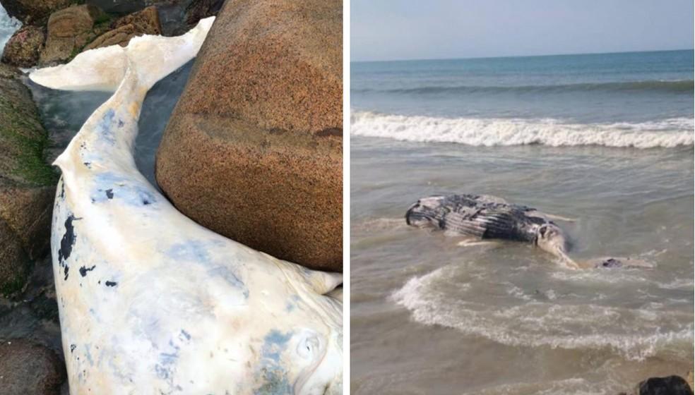 Animais foram encontrados em Florianópolis e Itapoá — Foto: R3 Animal e Projeto de Monitoramento de Praias