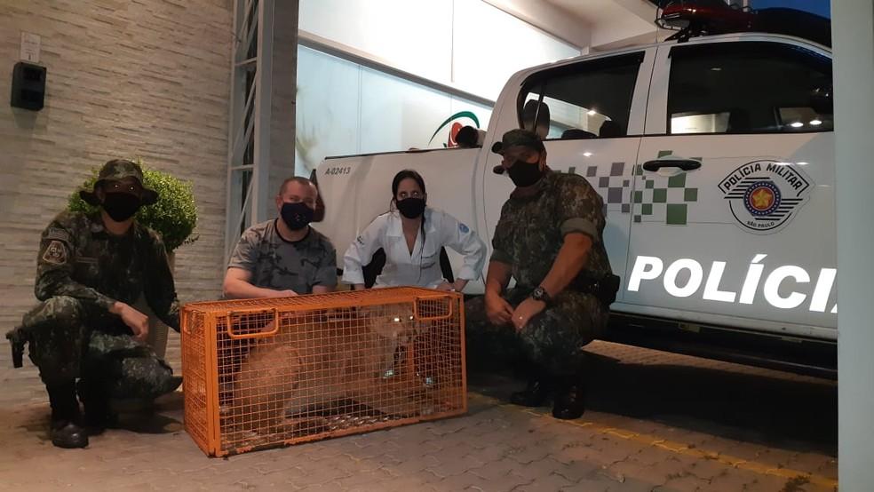 Equipe da Polícia Ambiental e médica veterinária acompanham soltura de onça em Marília (SP) — Foto: Divulgação/Polícia Ambiental