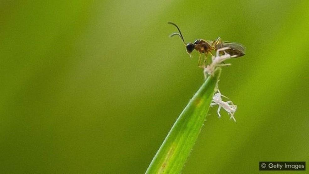 Se o uso de pesticidas deve diminuir, será que mais agricultores vão recorrer a controles biológicos como esta vespa parasita? — Foto: Getty Images via BBC