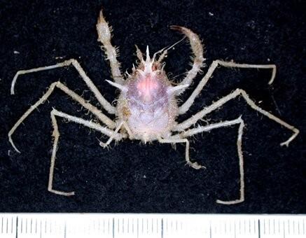 Nova espécie de caranguejo (Foto: CSIRO)