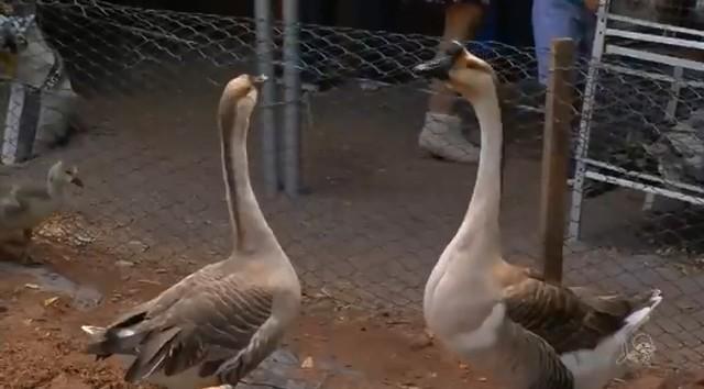 Feira de animais na Expocrato atrai curiosidade de visitantes