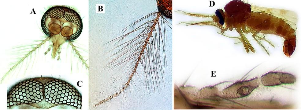 Espécies foram encontradas por pesquisadores da ILMD/Fiocruz Amazônia, no Amazonas. — Foto: Reprodução/ILMD/FiocruzAMAZÔNIA