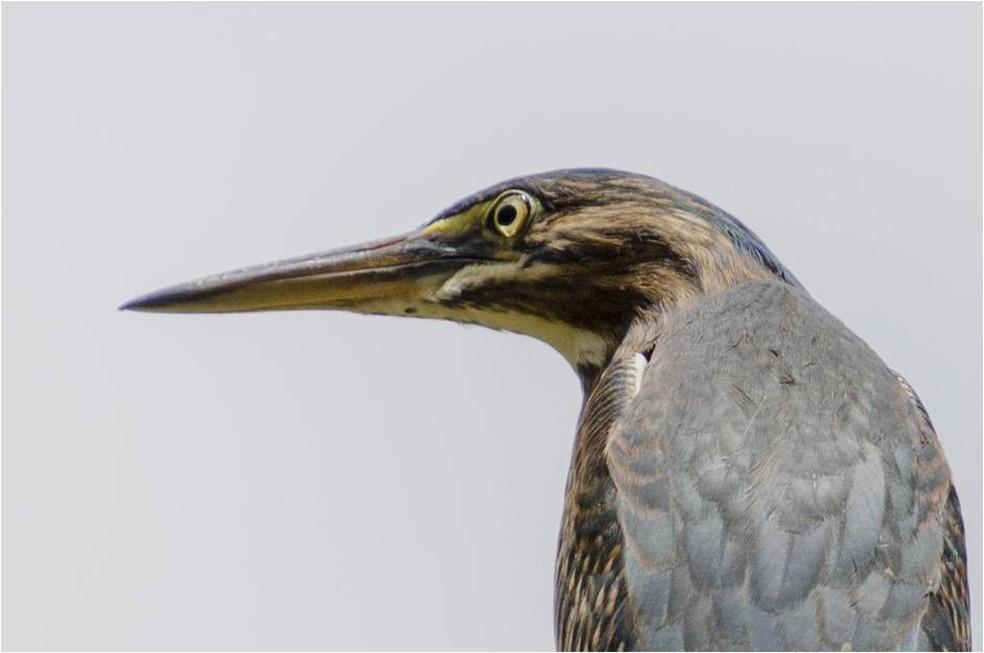 Socozinho é ave migratória que nidifica nas margens de rios e lagos (Foto: Alexandre Carvalho/VC no TG)