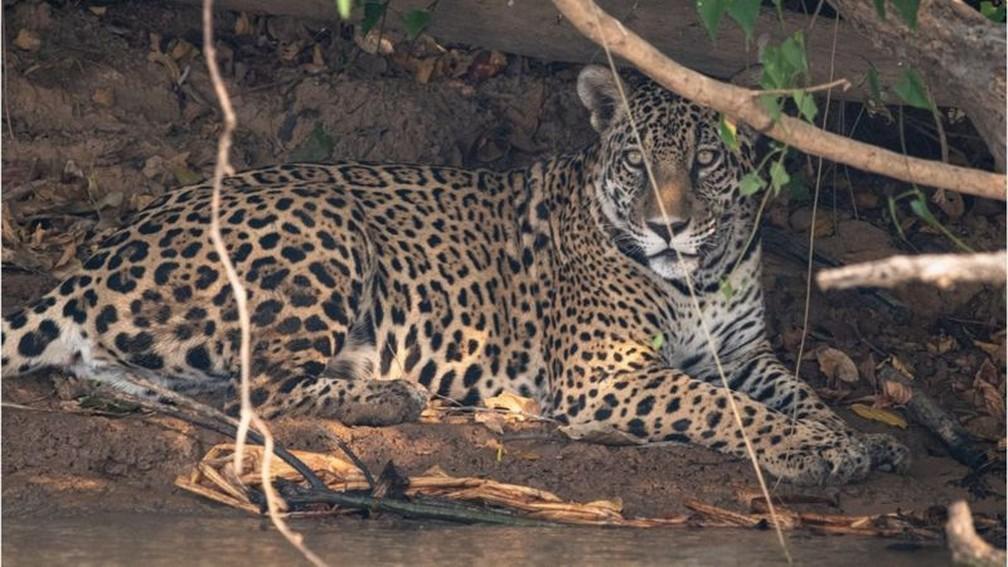 Nas proximidades de parque tomado por fogo, onça-pintada descansa embaixo de sombra — Foto: Gustavo Figueirôa/SOS Pantanal/BBC