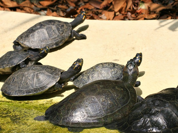 Ilha dos quelônios aquáticos do zoo do CIGS (Foto: Tiago Melo/G1 AM)