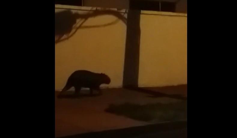 Morador registra passeio noturno de capivara por bairro da zona Leste de Ribeirão Preto, SP