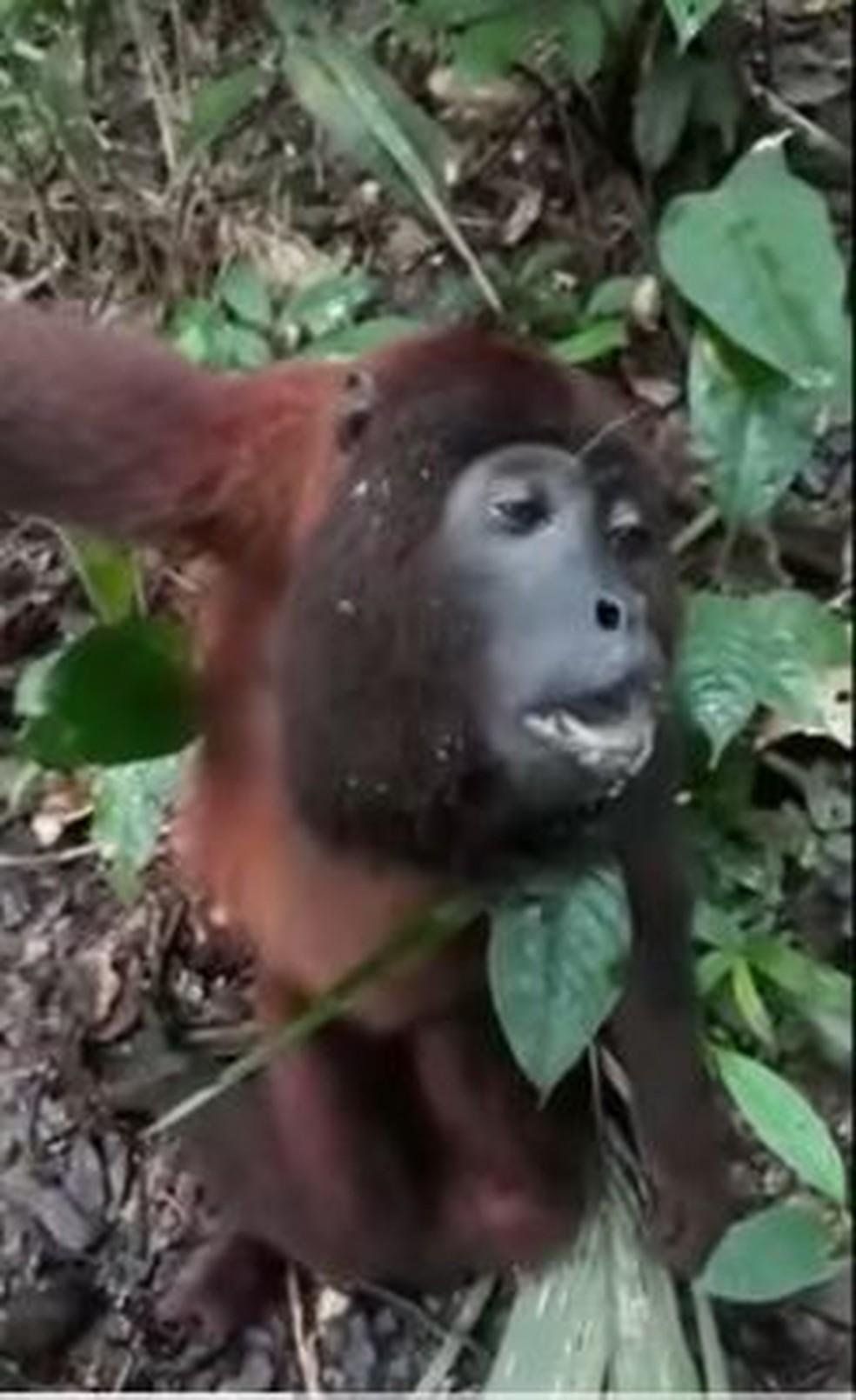 Macaco encontrado em floresta de Plácido de Castro foi achado ofegante — Foto: Reprodução
