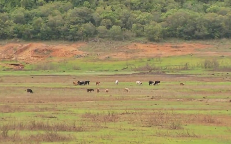 Convivendo com seca há quase 10 anos, falta de água faz Lago de Furnas virar pasto em MG; veja imagens