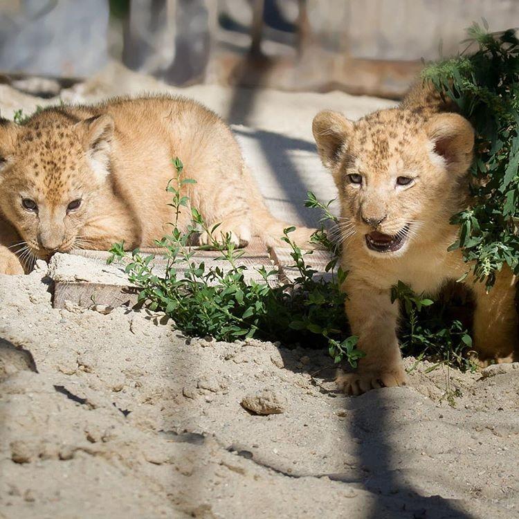 Filhotes de leão-do-atlas nasceram na República Tcheca. (Foto: @safariparkdvurkralove/Reprodução Instagram)