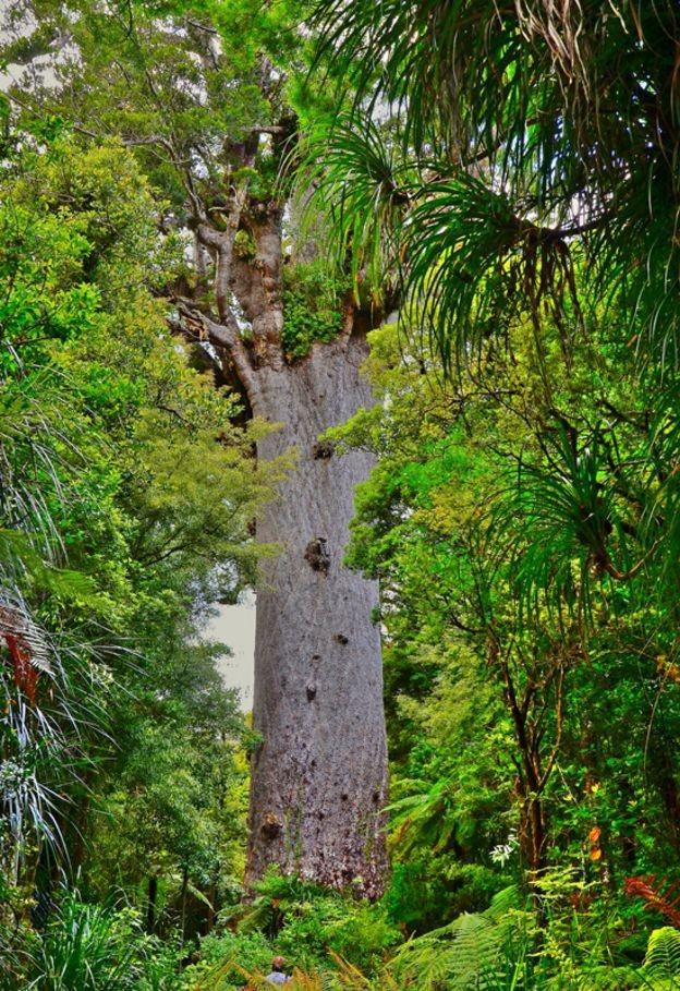 Tane Mahuta, o kauri mais famoso, mede 51,2 metros (Foto: Getty Images/BBC)