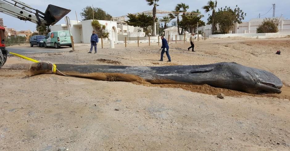 Baleia da espécie cachalote encalhada na praia de Múrcia, no sul da Espanha (Foto: Reprodução/ Twitter (@EspNaturalesMur))