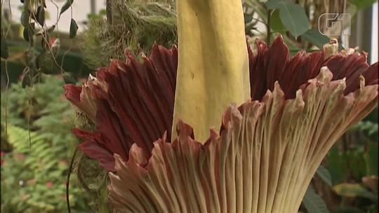 Sem cheiro ruim, flor cadáver floresce em jardim botânico nos EUA