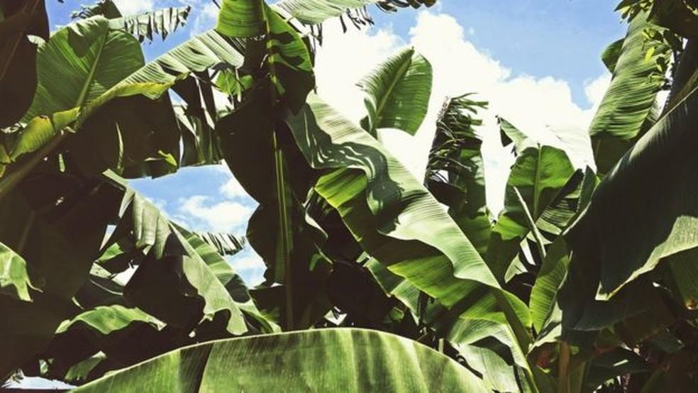 Mal-do-Panamá, é causada pelo fungo Fusarium oxysporum — Foto: Getty Images/BBC
