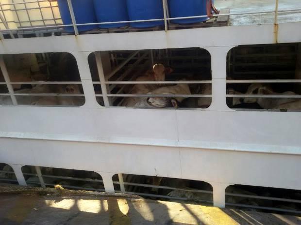 Estivadores tentam retirar bois de dentro do navio. (Foto: Renato Pereira/ Arquivo pessoal)