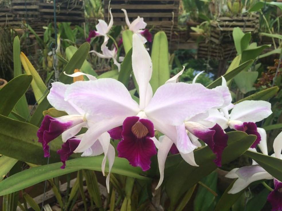 Espécie de orquídea que será vendida na mostra (Foto: Divulgação )