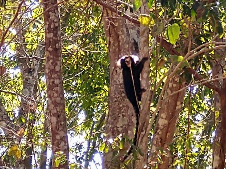 Primatas ameaçados de extinção são vistos no Centro de Miracema, no RJ - Notícias - Plantão Diário