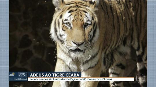 Morre o tigre 'Ceará', o mais antigo do Zoo de São Paulo