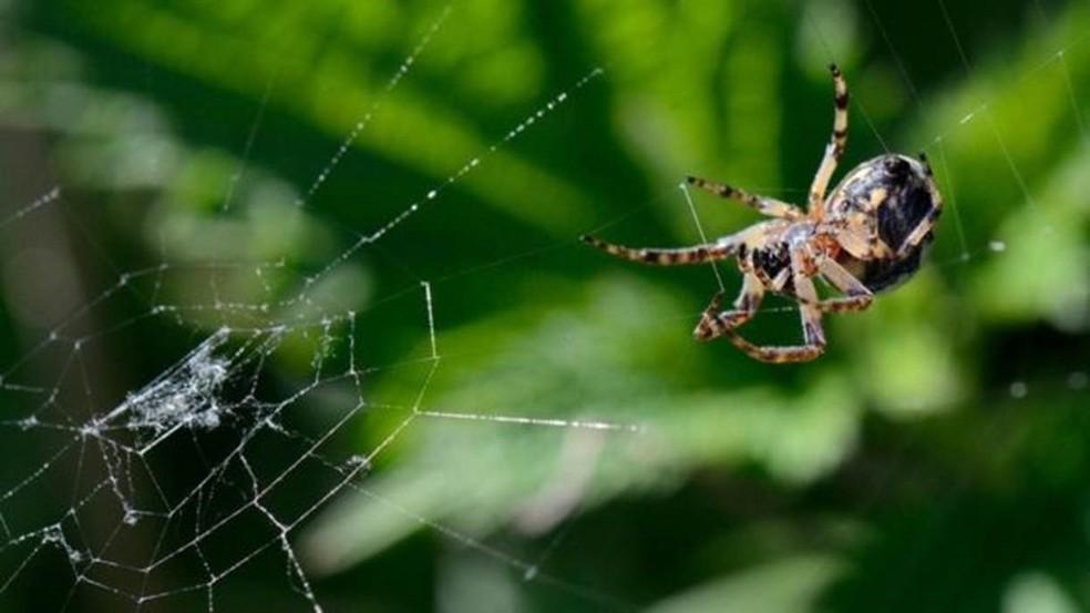 Uma aranha-peluda (Larioniodes cornutus) em sua teia (Foto:  Nick Upton/naturepl.com)