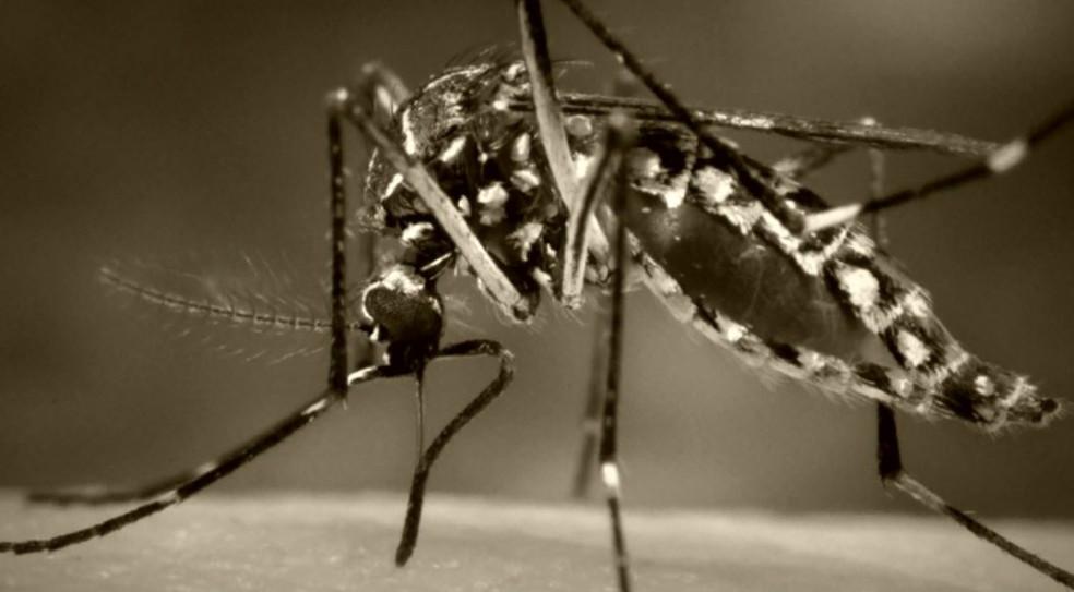 Mosquito transmissor do mayaro — Foto: Reprodução/EPTV