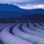 Papel de Parede: Purple Fields