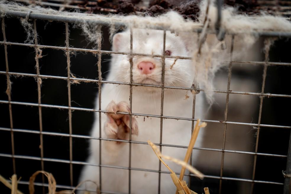 """""""O comércio de peles de animais, importação e exportação, será proibido, exceto para as necessidades de pesquisa, educação e certas tradições religiosas"""", declarou o Ministério israelense do Meio Ambiente — Foto:  Ritzau Scanpix/Mads Claus Rasmussen via Reuters"""