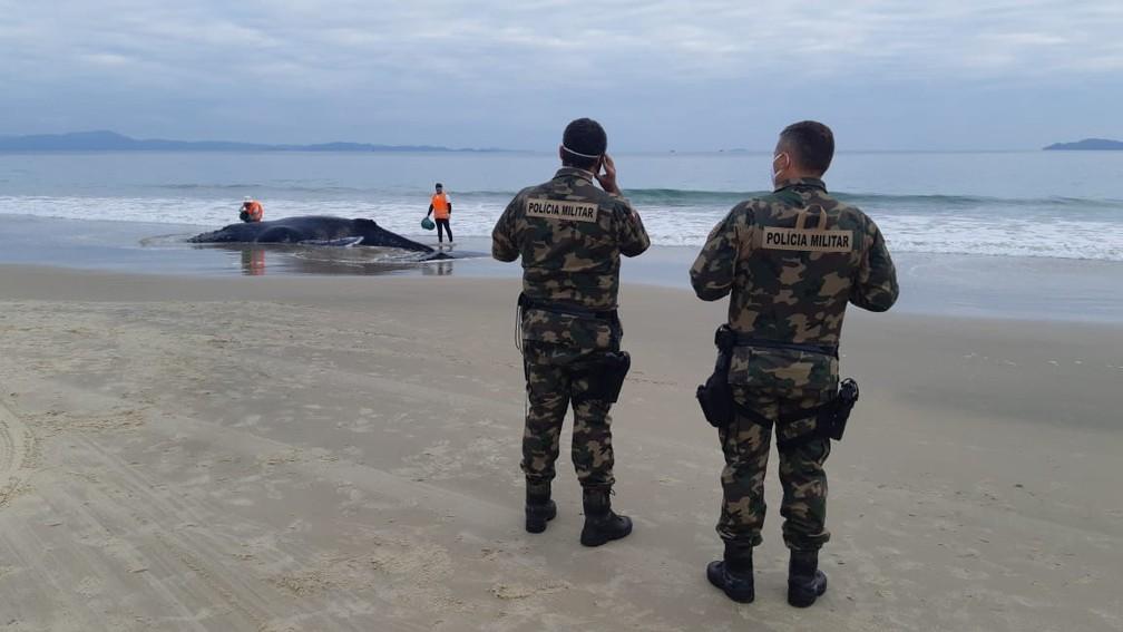 Equipes estão em praia de Florianópolis tentando auxiliar baleia que encalhou — Foto: Nilson Coelho/R3Animal