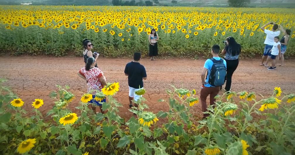 Ávila está grávida de seis meses e escolheu a plantação de girassóis em Sumaré (SP) para o seu ensaio fotográfico (Foto: Jefferson Barbosa/Reprodução EPTV)