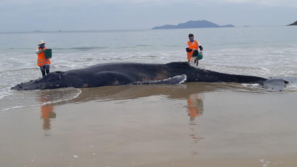 Animal recebe acompanhamento de especialistas após encalhe em praia — Foto: Nilson Coelho/R3 Animal