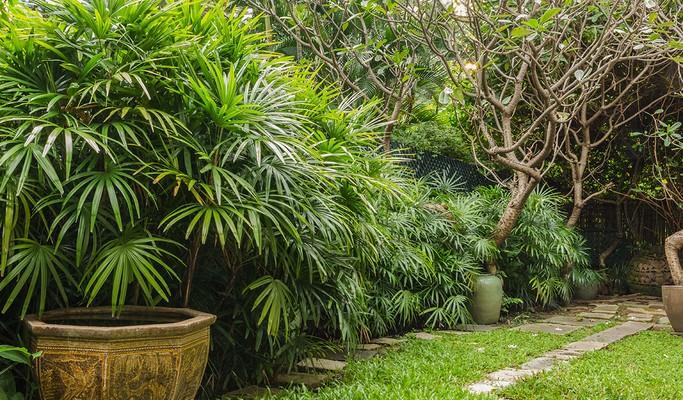 Palmeira-ráfis: aprenda a plantar, cultivar e como usar na decoração