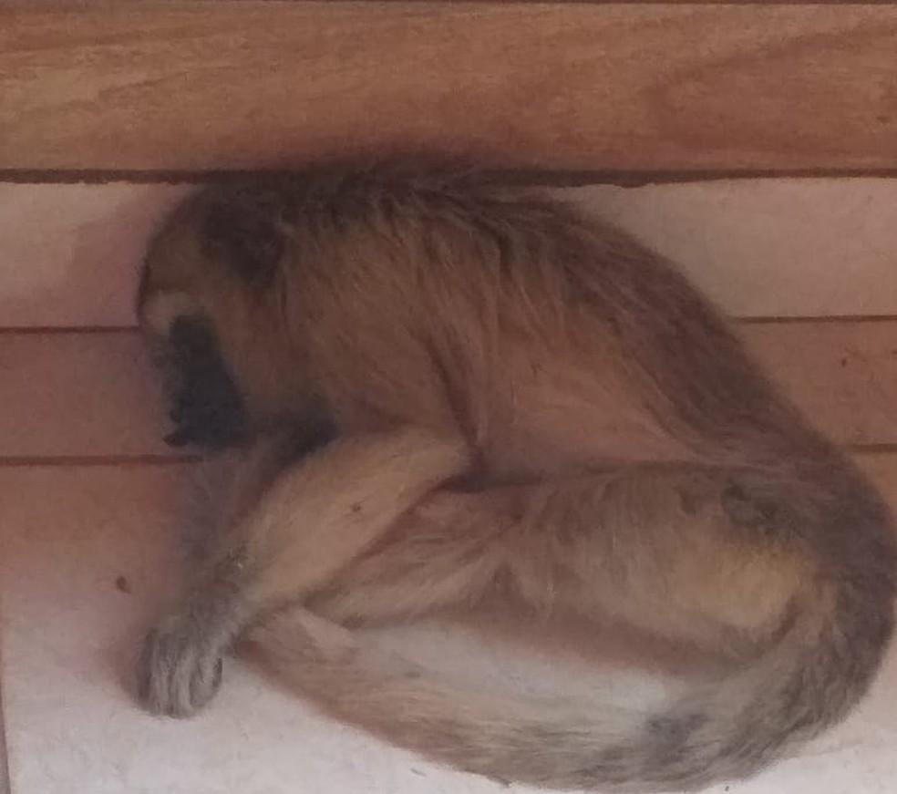 Macaco foi capturado pelos bombeiros em uma casa no Bairro Jardim Primavera — Foto: Corpo de Bombeiros/ Divulgação