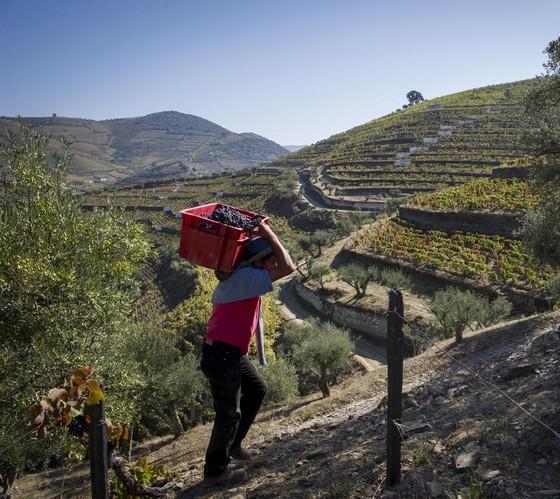 Quinta da Côrte, no Vale do Douro: experimentar um dia na vinha