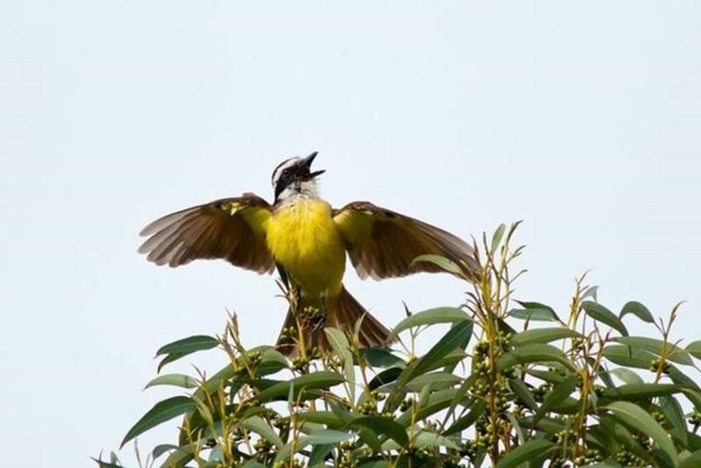 Bem-te-vi, uma das espécies presentes na capital paulista — Foto: Direito de imagem/JOSÉ CARLOS MOTTA-JUNIOR/Image caption