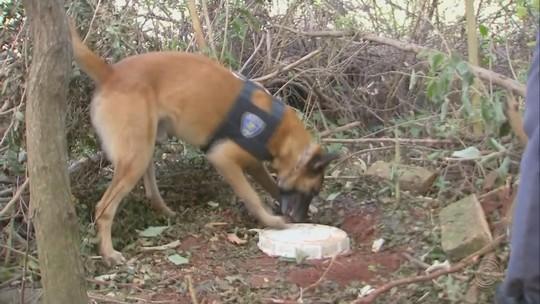 Rapaz é preso por tráfico de drogas após ser flagrado em sítio com plantação de maconha em Chavantes