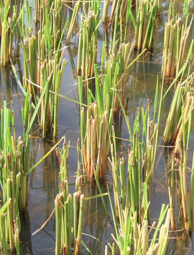 arroz selvagem - como plantar - gr responde (Foto: Thinkstock)