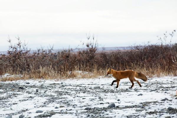 Em meio aos perigos do Alasca e o quase completo isolamento, Aikens até considera as raposas do ártico suas amigas (Foto: Divulgação)