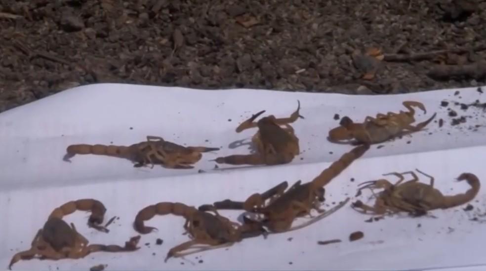 Produtor rural achou sete escorpiões em terreno em intervalo de 2h — Foto: Reprodução/TV Santa Cruz