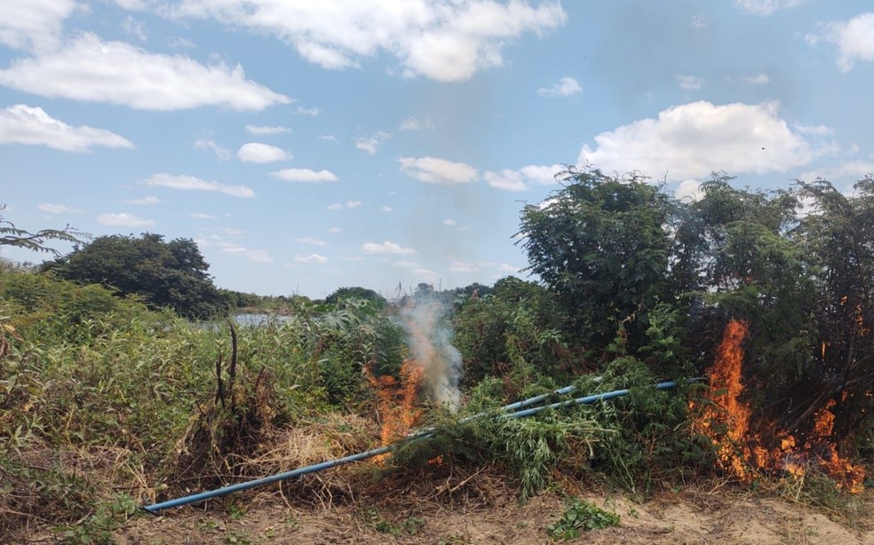 Plantação de maconha é incinerada na cidade Curaçá, norte da Bahia — Foto: Divulgação/SSP