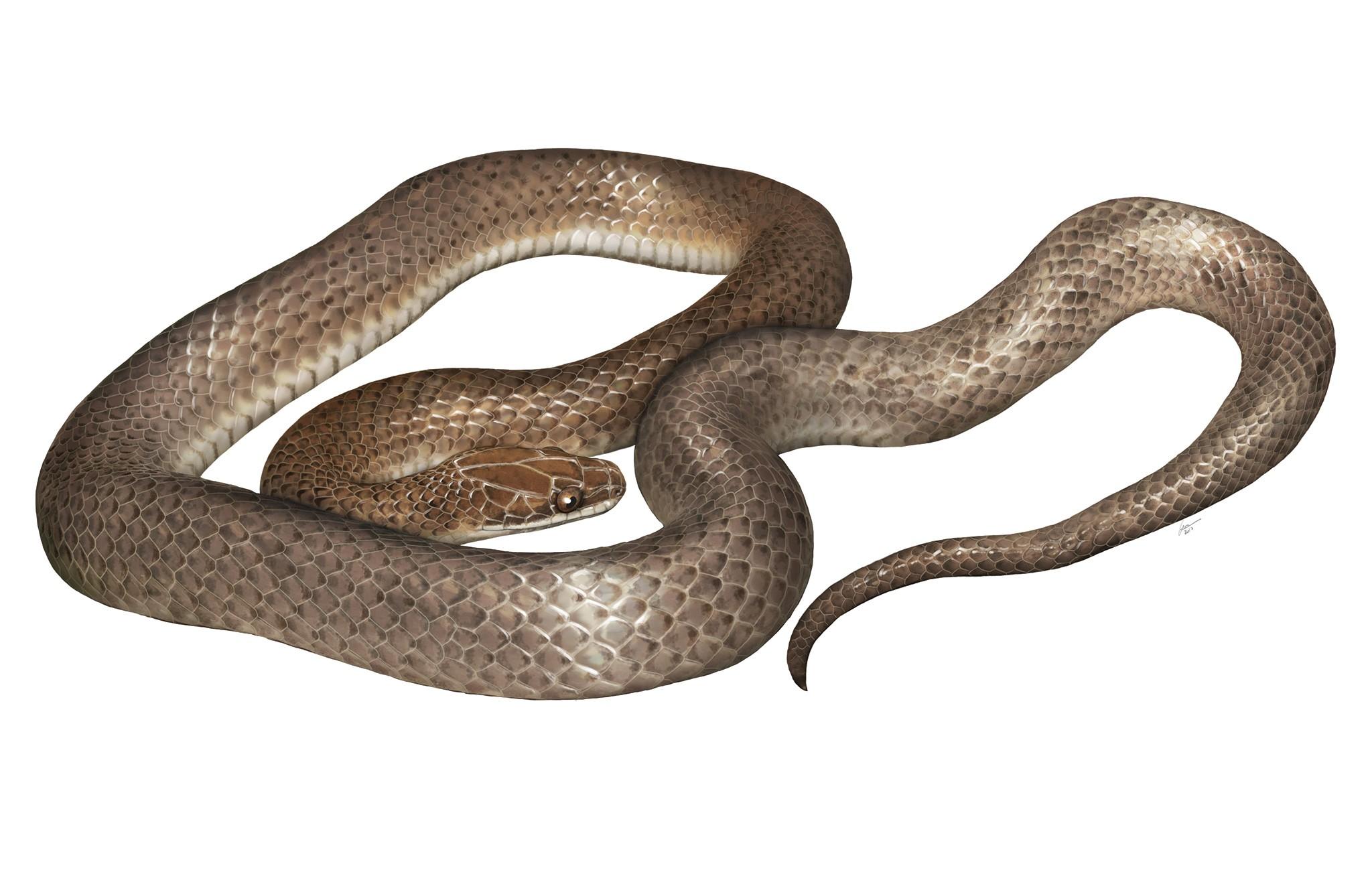 """Cenaspis aenigma ou """"misteriosa cobra-jantar"""" (Foto: National Geographic /  GABRIEL UGUETO)"""