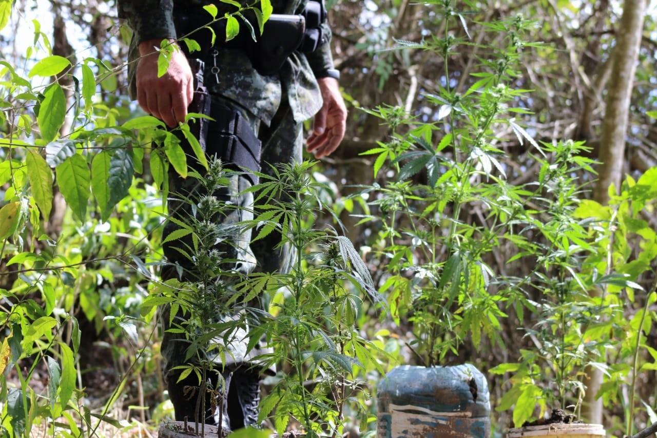 Polícia encontra plantação de maconha em pesqueiro do vice-prefeito de Tremembé, SP - Notícias - Plantão Diário
