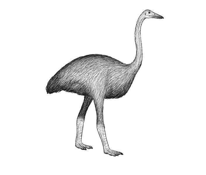 Representação artística da ave-elefante (Mullerornis agilis) (Foto: DFoidl/Wikimedia Commons)