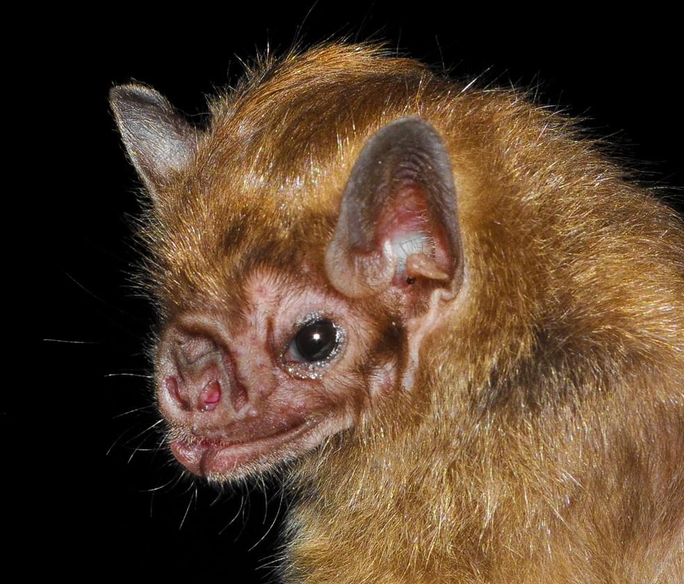 Morcego-vampiro-de-asas-brancas é a espécie mais rara — Foto: Roberto Novaes